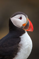 Portrait Of A Puffin print