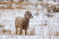 Attentive Lamb print