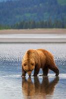 Double Bear print