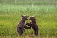 Cub Conflict print
