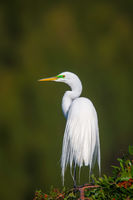 Portrait Of An Egret print