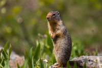 The Great Ground Squirrel print