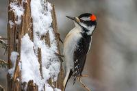 Winter Woodpecker print