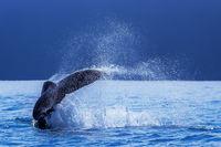 Whale Tail print