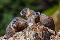 The Marmot Family print