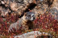 Flower Marmot print