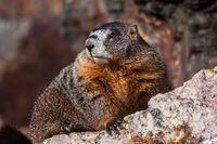 Boss Marmot print