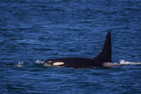 Orca Cruising print