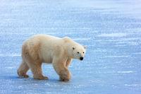 Polar Stroll print