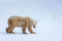 Snow Walk print