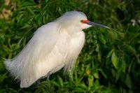 Snowy Egret Display print