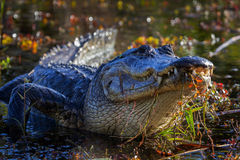 Alligator, Florida, Everglades