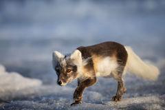 Fox, Arctic Fox, Norway