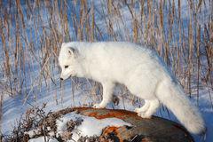 Fox, Arctic Fox, Canada, Winter