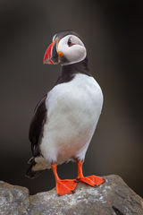 Puffin, Atlantic Puffin, Iceland