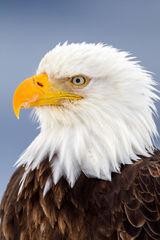 Eagle, Bald Eagle, Alaska