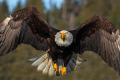 Eagle, Bald Eagle, flight, flying