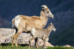 Bighorn, Sheep, Ram, Colorado
