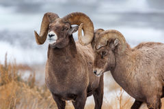 Bighorn, Sheep, Ram, Wyoming
