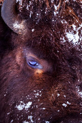 Wyoming, Bison, Winter, Yellowstone