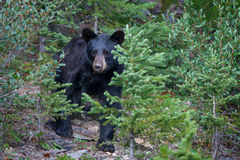 Bear, Black Bear, Canada, Alberta, Woods
