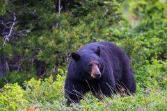 Bear, Black Bear, Montana, Glacier