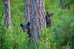 Bear, Black Bear, Cub, Georgia, Tree