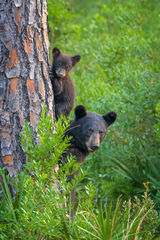 Bear, Black Bear, Cub, Tree, Georgia