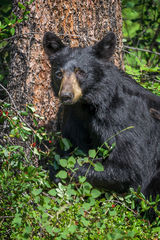 Bear, Black Bear, Canda, Alberta, Berries