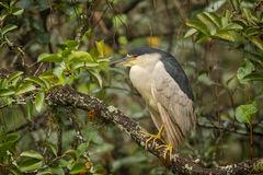 Heron, Black Crowned, Night Heron, Florida