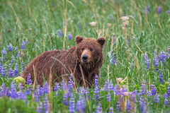 Bear, Brown Bear, Grizzly Bear, Alaska