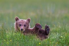 Bear, Brown Bear, Grizzly Bear, Cub, Alaksa
