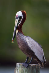 Pelican, Brown Pelican, Florida