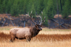 Elk, Bull Elk, Yellowstone, Wyoming