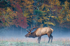 Elk, Bull Elk, North Carolina, Cataloochee