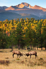 Elk, Bull Elk, Colorado, Rocky Mountain