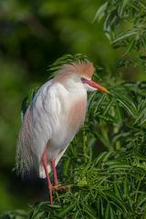 Egret, Cattle Egret, Florida