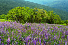 California, Redwood National Park, Bald Hills, Lupines, Spring, Summer