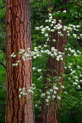 California, Yosemite, Dogwood, Flowers