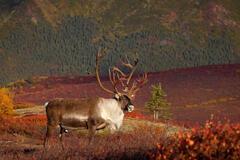Caribou, Alaska, Denali