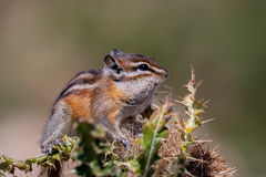 Chipmunk, Colorado