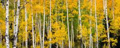 Colorado, Fall, Aspen, Trees
