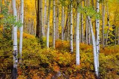 Colorado, Aspen, Trees, Fall