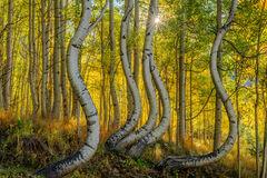 Colorado, Ophir, fall, color, aspen, curved