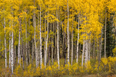 Colorado, Aspen, Trees, Fall, Color