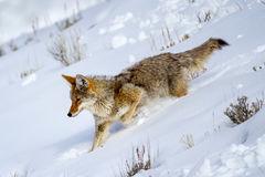 Coyote, Winter, Yellowstone, Wyoming