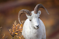Dall Sheep, Alaska, Denali