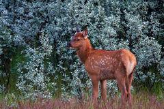 Elk, Calf, Canada, Jasper