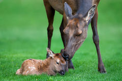 Elk, Calf, Wyoming, Yellowstone