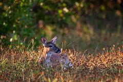 Deer, Key Deer, Florida, Big Pine Key